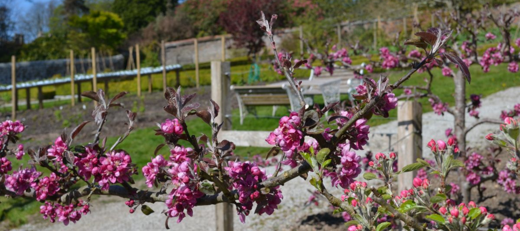 A close up of some pink flowers with the walled garden blurred in the background